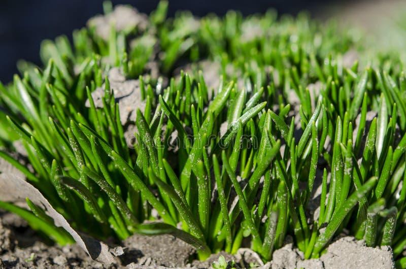 En ung grön buske av gräs tränger igenom den kalla jordningen under vårsolen N?rbild royaltyfri bild