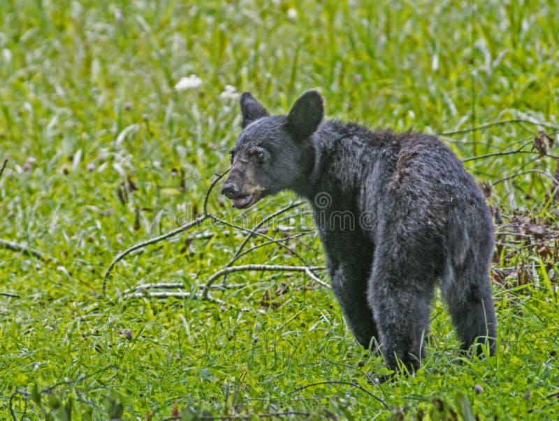 En ung gröngöling för svart björn ser runt om honom arkivbilder