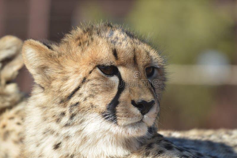 En ung gullig gepardstående under en safari i en modig reserv i Sydafrika royaltyfri bild