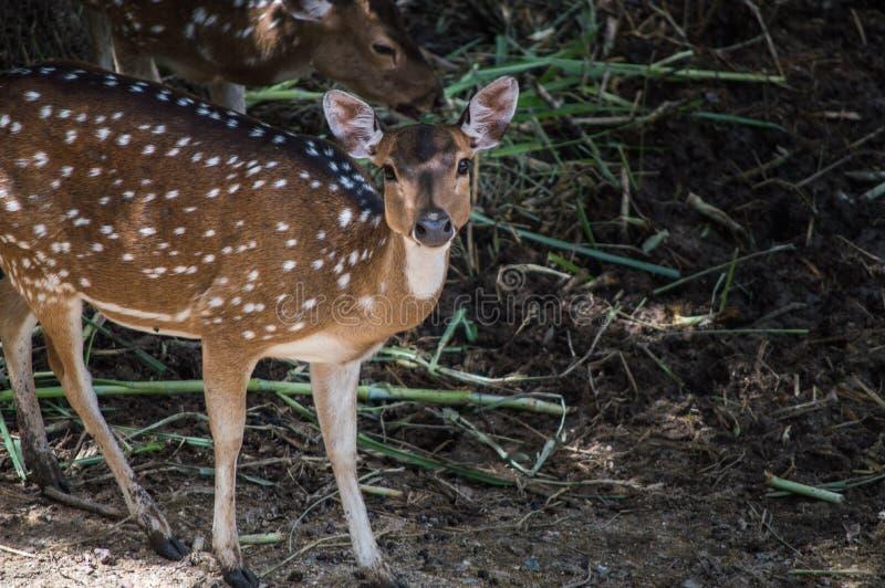 En ung hjort ser rak framåt för kamera royaltyfria foton