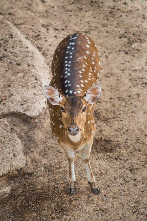 En ung hjort ser rak framåt för kamera fotografering för bildbyråer