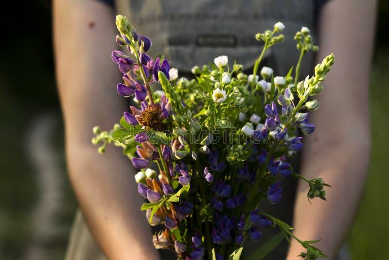 En ung kvinna med en bukett av kamomillen för lösa blommor, lupine, växt av släktet Trifolium i hennes händer står i en äng, närb royaltyfria bilder