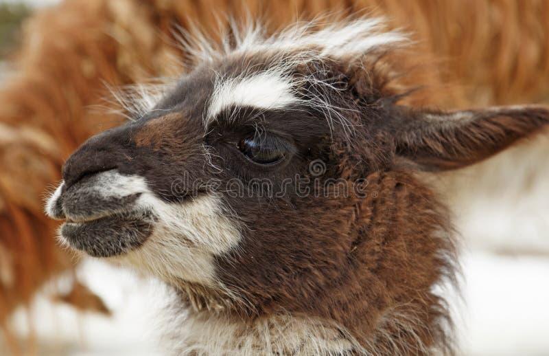 En ung lama ser omkring utomhus för första gången arkivbilder
