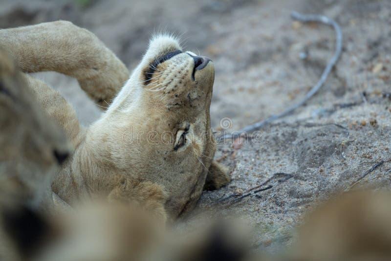 En ung lejoninna som över rullar fotografering för bildbyråer