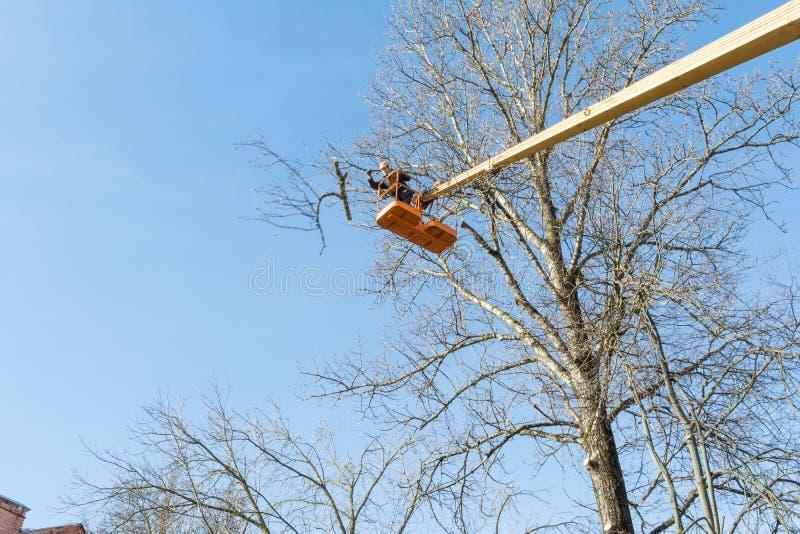 En ung man, en arbetare, med en chainsaw på höjden av sawingfilialer av ett stort träd som faller till jordningen arkivfoto