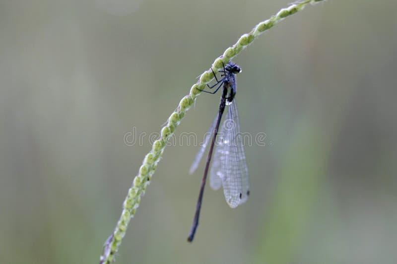 En ung ogift kvinnafluga på ett grässtrå royaltyfria bilder