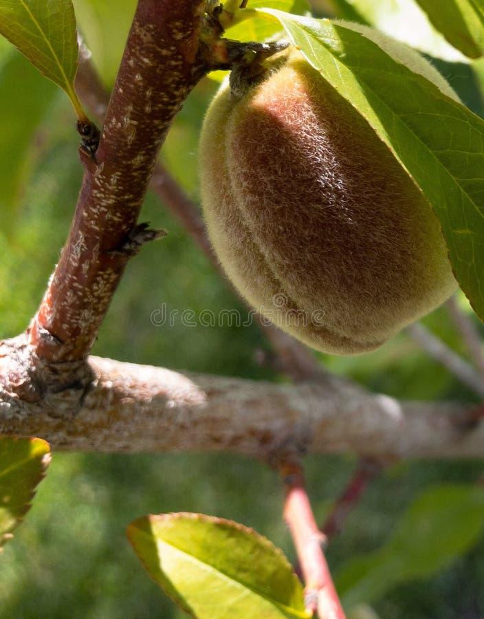 En ung persika på ett persikaträd royaltyfri foto