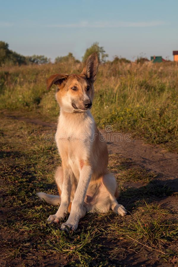 En ung rödhårig byracka med stora öron sitter på vägen och ser SAD till ingenstans arkivfoton