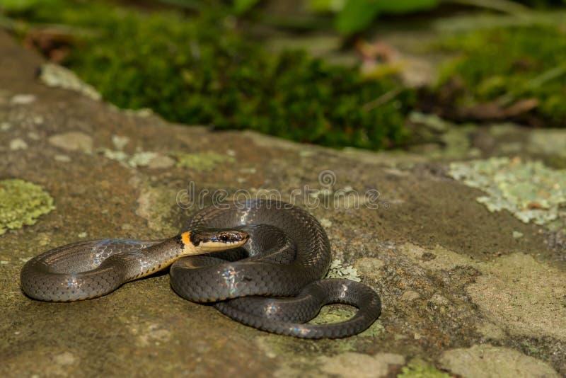 En ung Ringneck orm arkivfoto