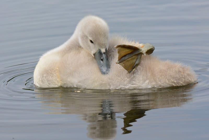 En ung svan som sover på vattnet royaltyfri fotografi