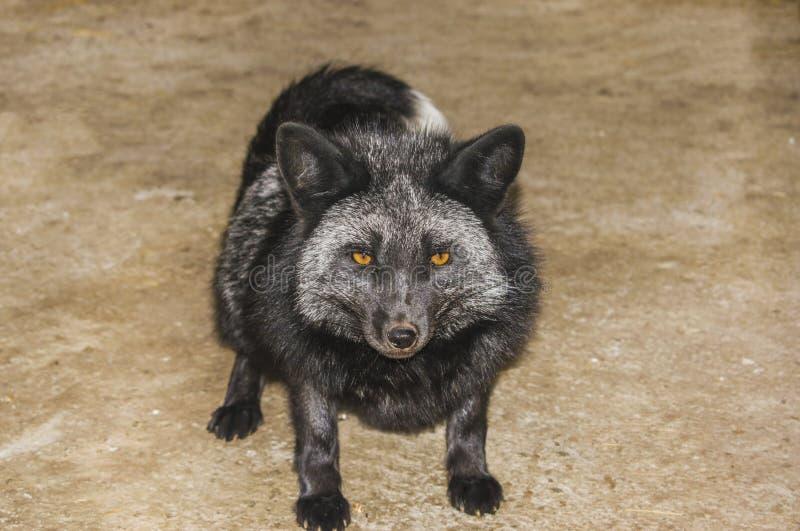 En ung svart räv ser jordningen royaltyfria bilder