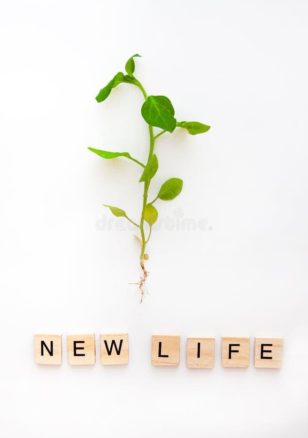 En ung växt med rotar isoleras på en vit bakgrund, och orden är från träbokstavsecoen, naturligt nytt liv Lekmanna- l?genhet royaltyfri fotografi