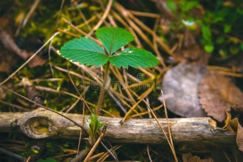 En ung vinge av jordgubbebusken med nytt ljus - gräsplansidor royaltyfri fotografi
