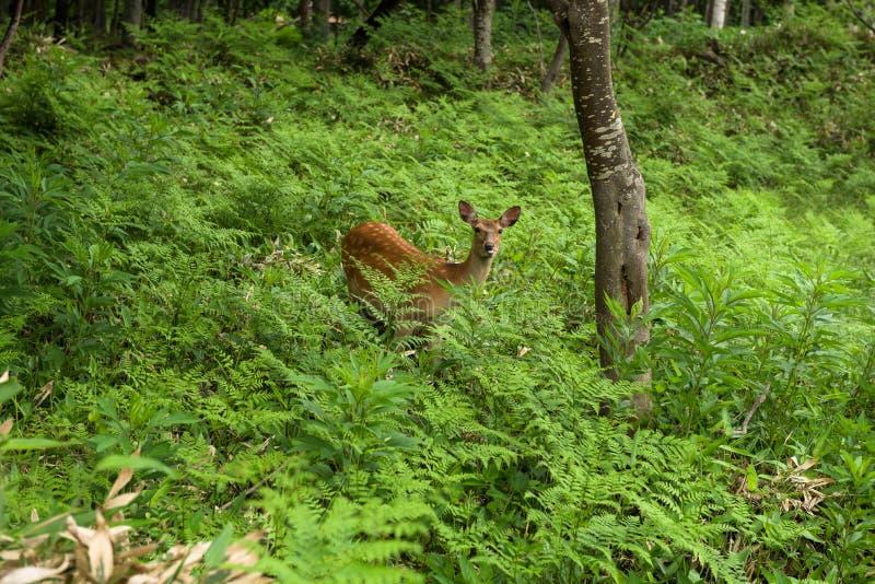 En ung Yezo Sika hjort som går till och med skogen och fälten av den Shiretoko nationalparken arkivbild