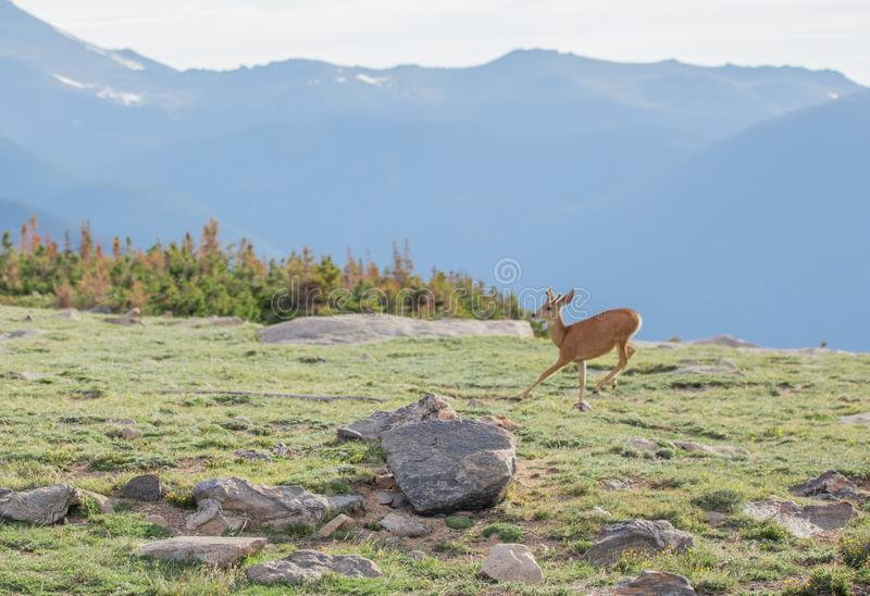 En unga Buck Deer med nya horn på kronhjort som kör i en alpin äng på en sommardag på Rocky Mountain National Park i Colorado arkivbild