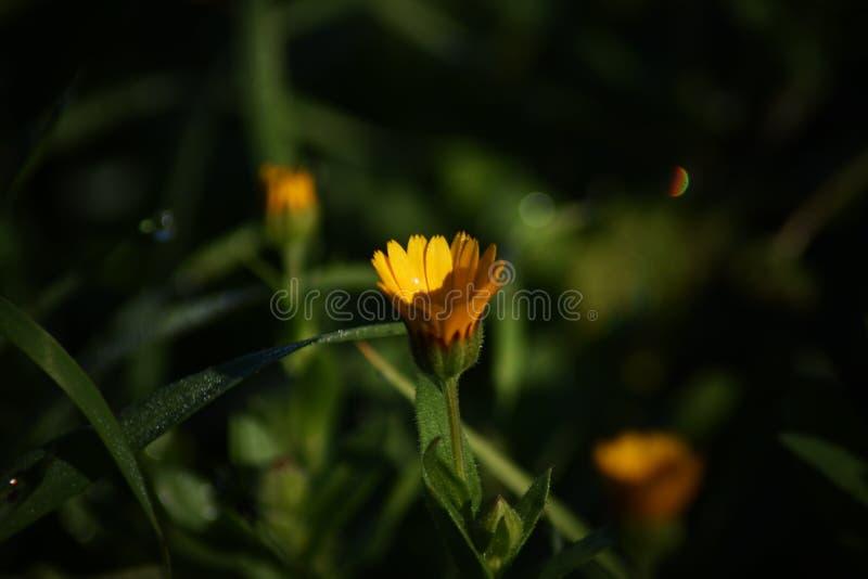 En unik lös orange blomma för fantastisk södra italienare arkivbilder