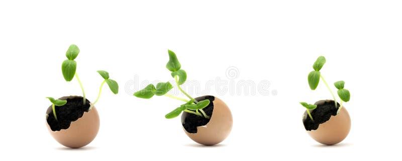 En uppsättning av fotoet av att blomstra gurkaplantan, små groddar i äggskalet med jord som isoleras på vit bakgrund Växande spr royaltyfria foton
