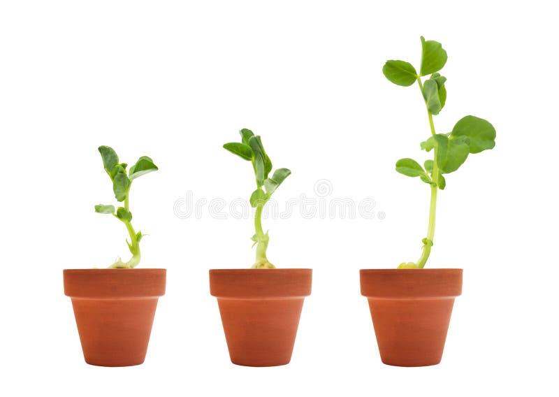 En uppsättning av groende för tre organisk ärtafrö Den gröna ärtan spirar i keramiska omålade krukor för lera som är klara för pl arkivfoton