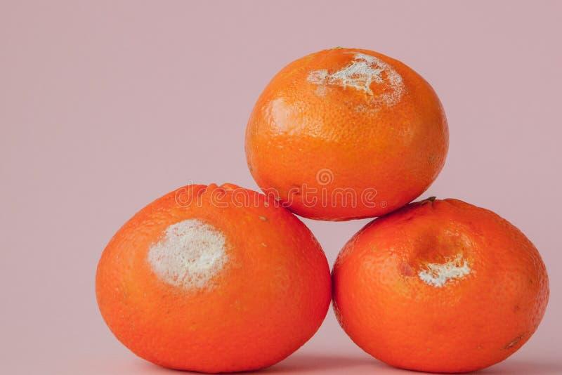 En uppsättning av ruttna mögliga apelsiner, tangerin på rosa bakgrund Ett foto av den växande formen Matförorening, spolierat dål arkivbild