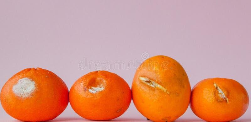 En uppsättning av ruttna mögliga apelsiner, tangerin på rosa bakgrund Ett foto av den växande formen Matförorening, spolierat dål royaltyfri fotografi