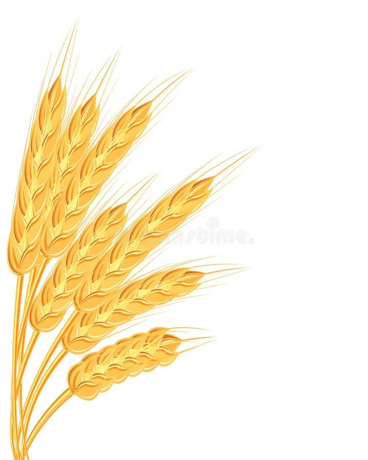 En uppsättning av spikelets av guld- vete, råg, korn på en vit bakgrund av olika former också vektor för coreldrawillustration royaltyfri illustrationer