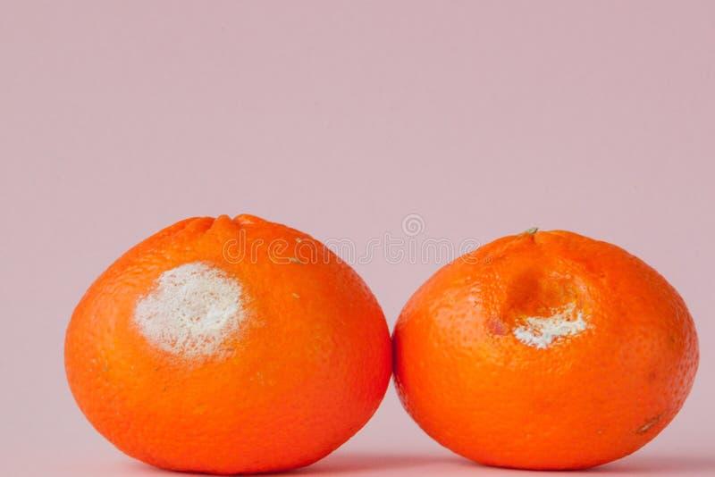 En upps?ttning av ruttna m?gliga apelsiner, tangerin p? rosa bakgrund Ett foto av den v?xande formen Matf?rorening, spolierat d?l royaltyfri foto