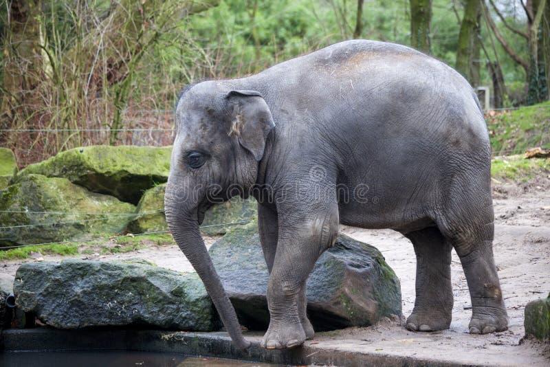En utbildad elefant går efter en hård dag i djungeln Den funktionsdugliga indiska elefanten går till det bevattna hålet i byn arkivbilder