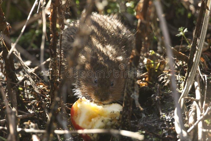 En utsatt för fara vattenVole, Arvicolaamphibius som matar på ett äpple på kanten av en ström i skuggan arkivbilder
