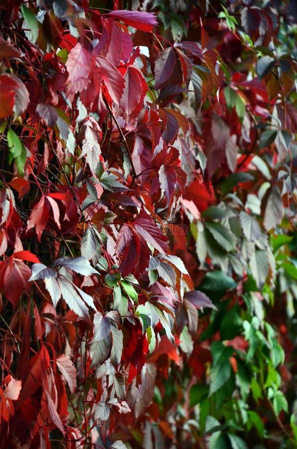 En vägg av ljusa röda gröna sidor av en klättraväxt av lösa druvor arkivfoton