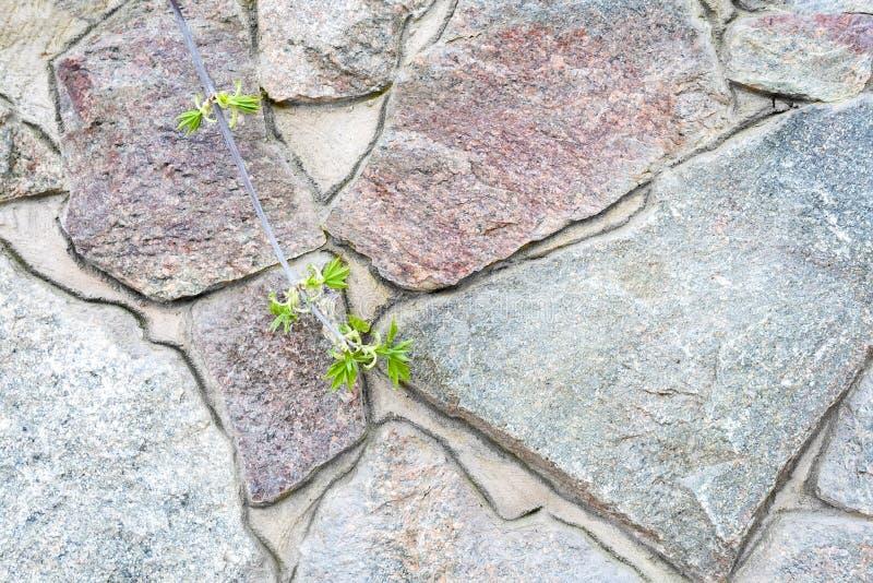 En vägg av stora grova ojämna granitstenar med cementgrout dem emellan med en filial av en växt med att blomma lövverk royaltyfri foto