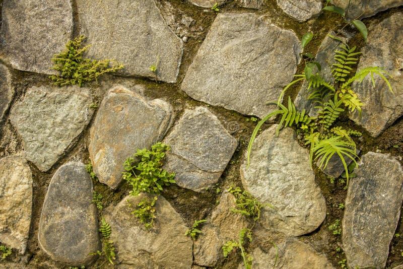 En vägg av stora ojämna naturliga stenar med liten grön vegetation Vägg med mossa grov väggyttersidatextur grå och vit ston royaltyfri fotografi