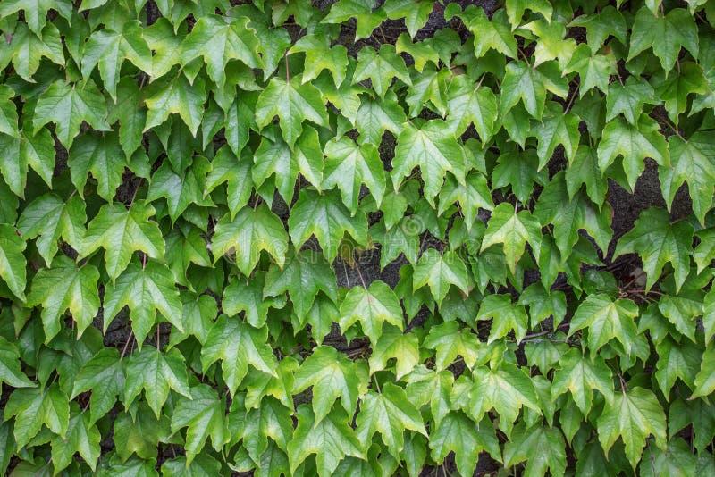 En vägg som täckas med murgrönasidor, blom- bakgrund fotografering för bildbyråer