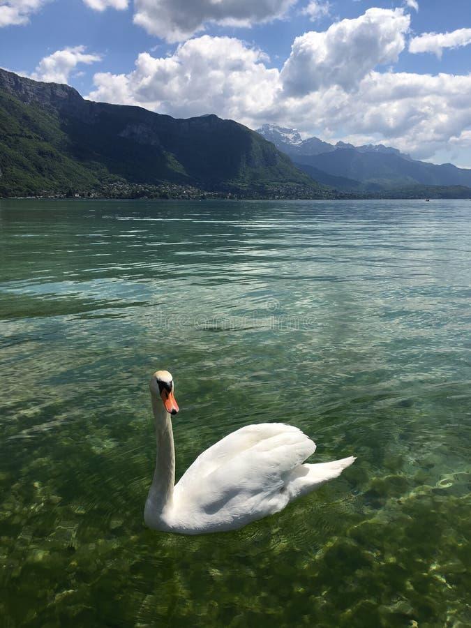 En vänd som vänder mot svanen i sjön Annecy fotografering för bildbyråer
