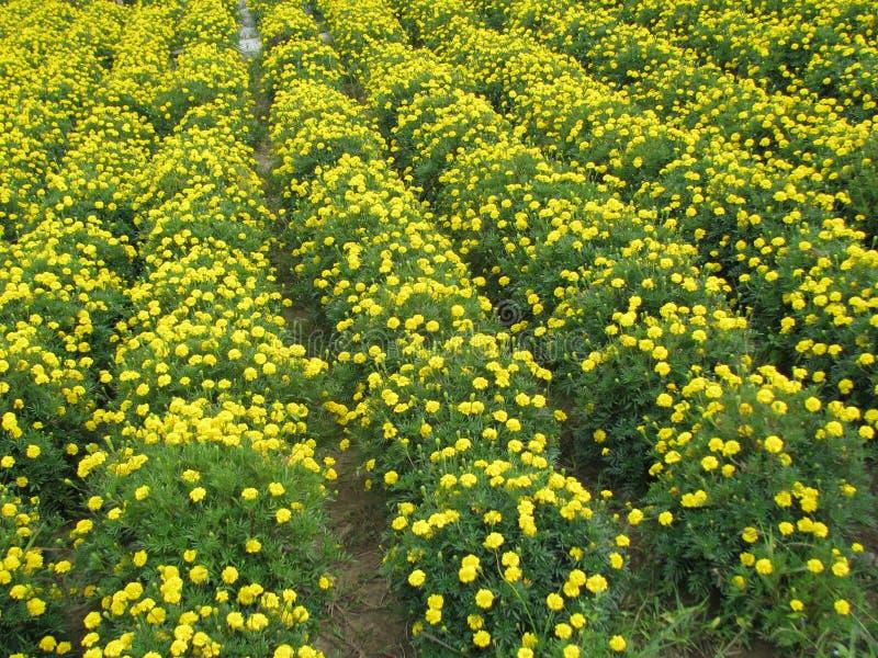 En värld mycket av härliga små gula blommor royaltyfri bild