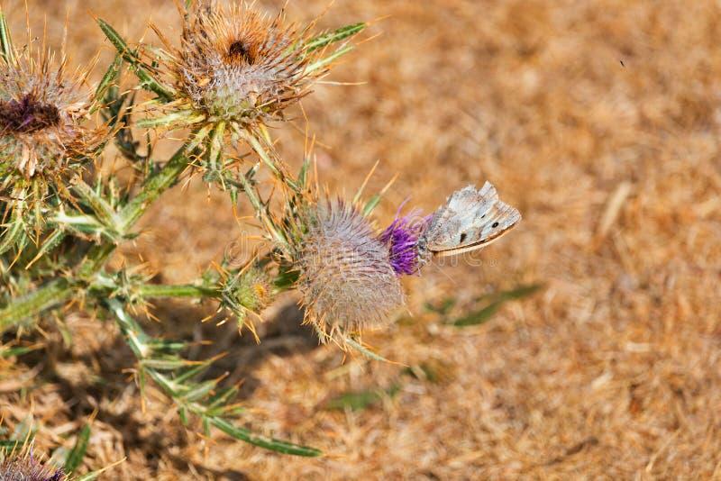 En växt av tisteln och en fjäril royaltyfri bild