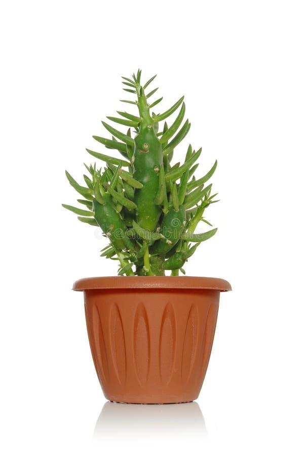 En växtsuckulent i en kruka på en vit bakgrund med gräsplansidor och små groddar royaltyfri fotografi