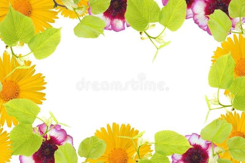 En vårram med lindträdfilialer, gul kamomill och rosa färgblommaknoppar, filialer och sidor som isoleras på vit bakgrund arkivbilder