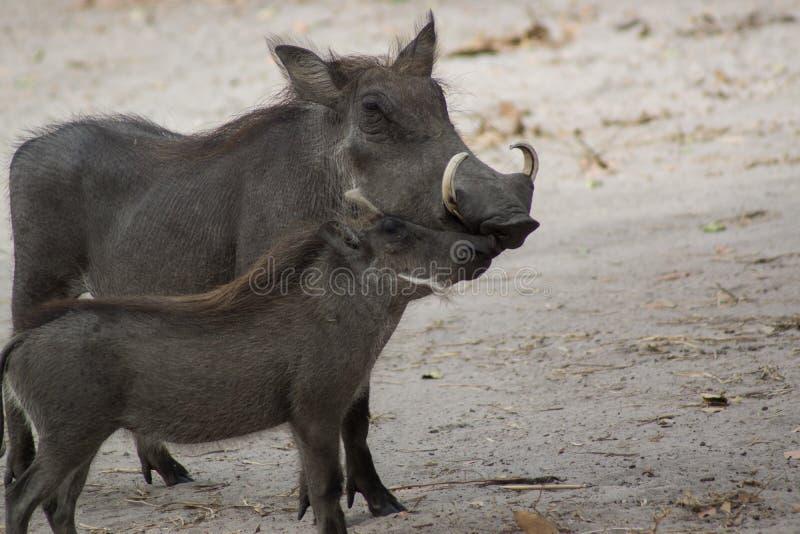 En vårtsvin i det löst i Senegal arkivfoton