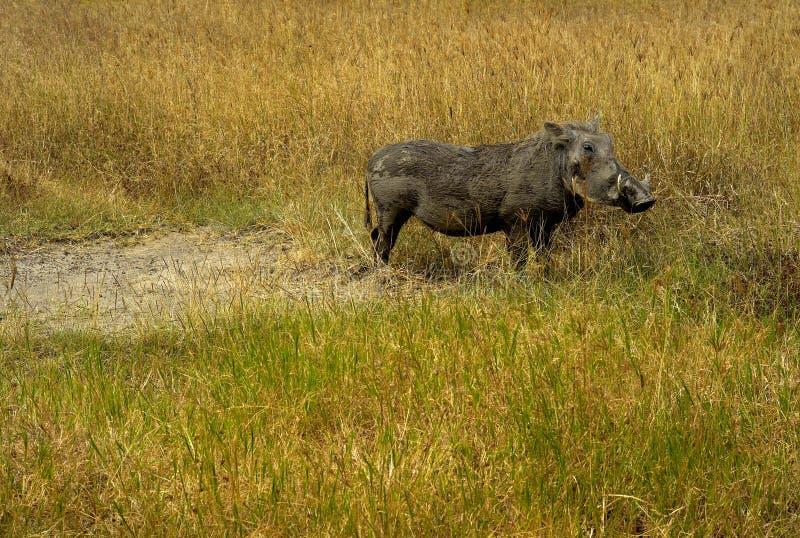 En vårtsvin i en gräs- slätt, Ngorongoro krater, Tanzania arkivfoto