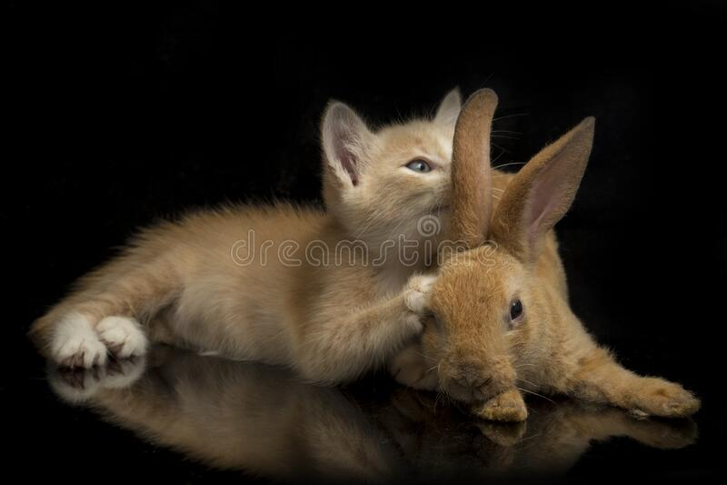 En vacker orange kattunge och orange-brun söt kanin, roliga positioner Djurporträtt isolerat på svart arkivfoton