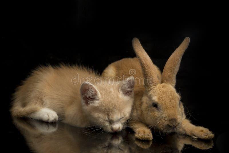 En vacker orange kattunge och orange-brun söt kanin, roliga positioner Djurporträtt isolerat på svart arkivfoto