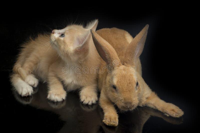 En vacker orange kattunge och orange-brun söt kanin, roliga positioner Djurporträtt isolerat på svart royaltyfri foto