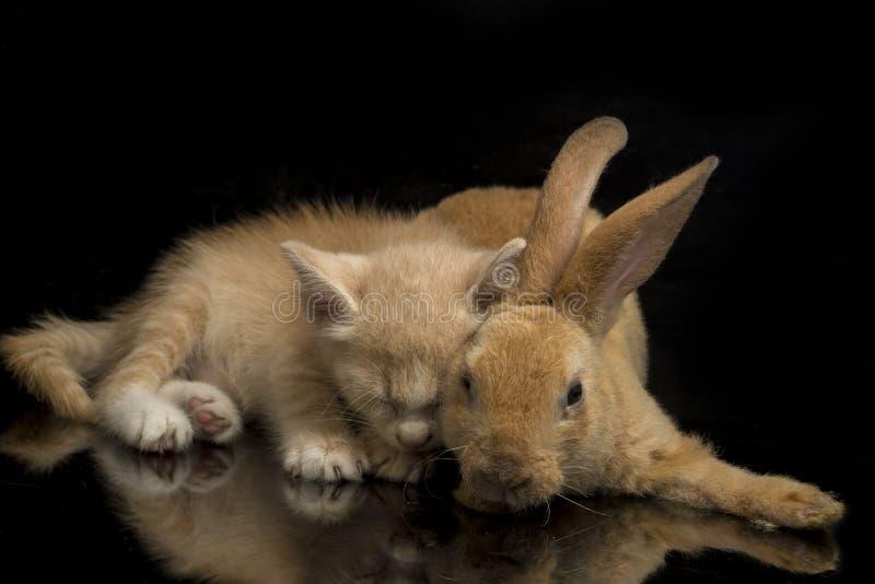 En vacker orange kattunge och orange-brun söt kanin, roliga positioner Djurporträtt isolerat på svart royaltyfria bilder