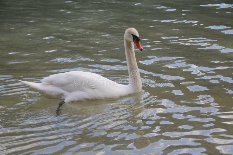 En vacker svan på vattnet royaltyfri bild