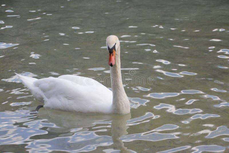 En vacker svan på vattnet royaltyfri fotografi