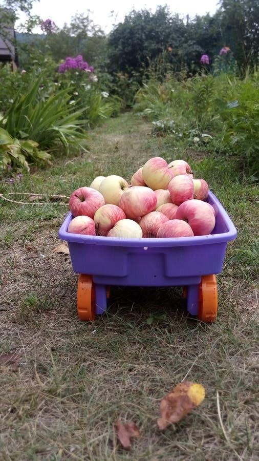 En vagn med äpplen på banan av en sommarträdgård som omges av blommor royaltyfria bilder