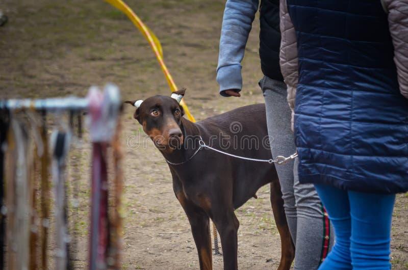 En valp av en brun Dobermanvalp med bundna öron ser questioningly på hans husmor Emotionell trötthet från den första hundshowen royaltyfria foton