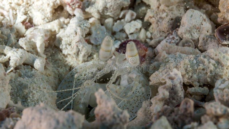 En variation av fisken som är undervattens- i Maldiverna, räka, hummer, fel arkivbild