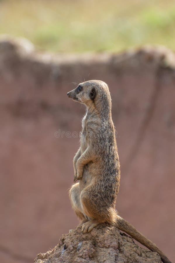 En varning isolerade Meerkat på zoo royaltyfri fotografi