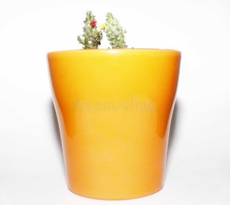 En vas av kaktuns arkivfoto